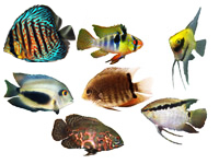 South American Cichlids, Oscars, Angelfish, Uaru, Festivum, German Ram, Severum
