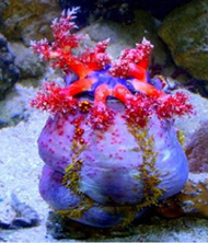 Sea Apple pseudocolochirus axiologus