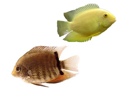 Green Severum Cichlid