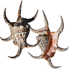 Lambis-Lambis Shell, Spider conch, Strombus family, Variation A