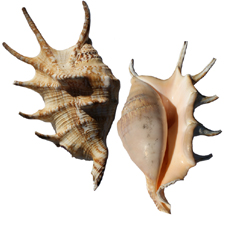 Lambis-Lambis Shell, Spider conch, Strombus family, Variation B