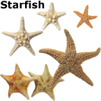 STARFISH, an interesting ocean decoration. African and Sugar Starfish.
