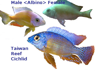 Taiwan Reef Cichlid, Albino male female, regular