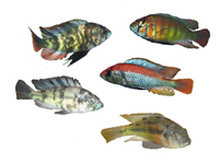 Lake Victoria Cichlids, East Africa
