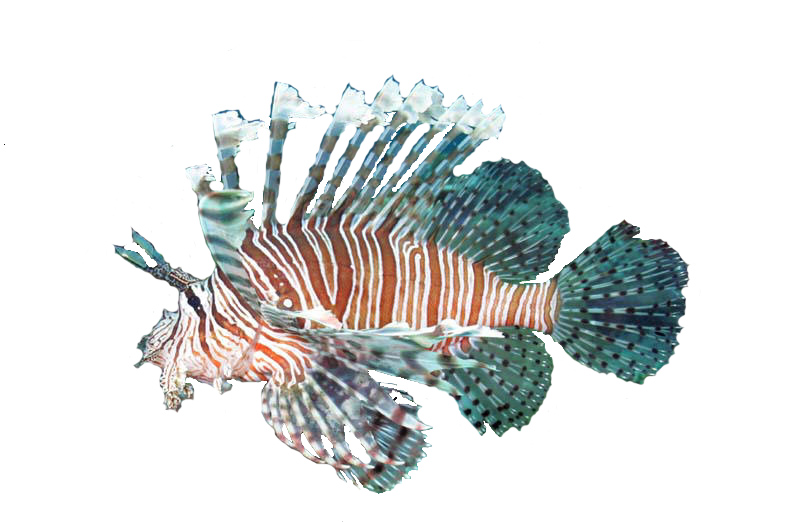 Volitan Lionfish, information, about