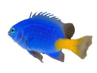 Yellow tail Damsel, Damselfish